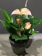 Small pink Anthurium