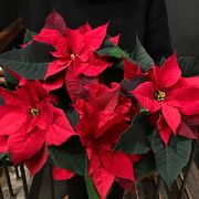 Big red poinsettia in waxpaper