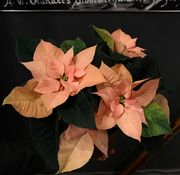 Autumn leaves poinsettia in waxpaper