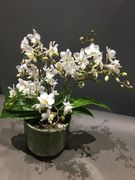 smallflowered orchid