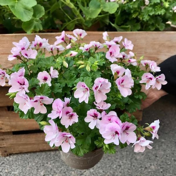 Angel pelargonium lightlilac