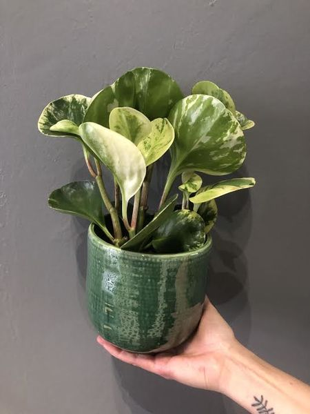 Peperomia white and green