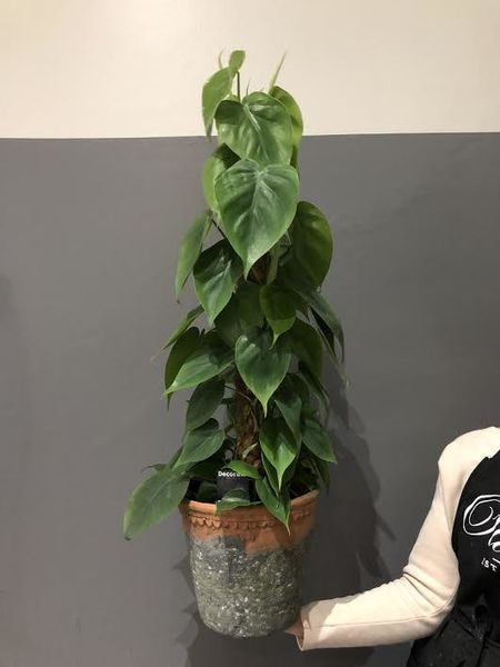 Heartleaft philodendron (Philodendron scanders)