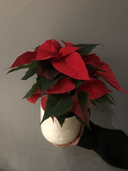 Copy of Copy of Red poinsettia
